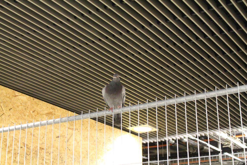 Auch die Tauben fühlen sich schon wohl - obwohl die Eröffnung erst im Februar 2016 ist.